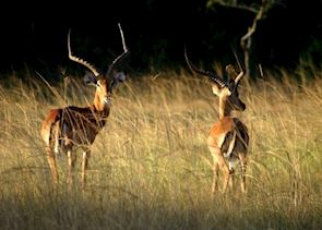 Ugandan kob, Lake Mburo National Park