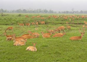 Herd of Swamp Deer, Kaziranga National Park, India