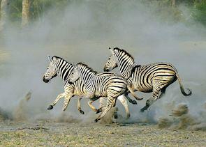 Zebra kicking up the dust