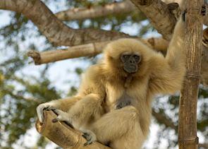 Gibbon, Danum Valley, Malaysian Borneo