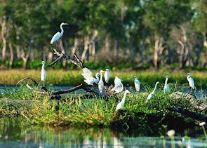 Egrets, Yellow Water Billabong, Kakadu National Park