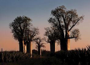 Baobab Forest, Ifotaka Community Forest, Madagascar
