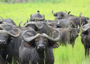 Herd of Buffalo in Murchison Falls National Park