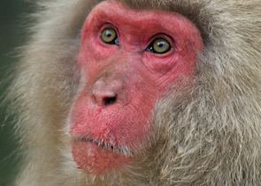 Male snow monkey