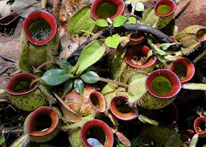 The carnivorous pitcher plant