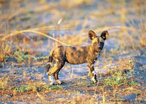 Wild dog pup in the Kwando Concession