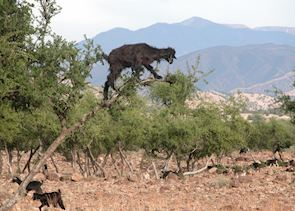 Goats in Argan Trees, The High Atlas Mountains