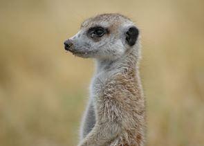 Meerkats in the Makgadikgadi Pans