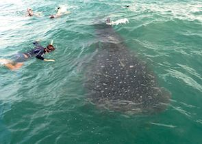 Snorkelling with whale sharks, Kilondoni Channel, Mafia Archipelago