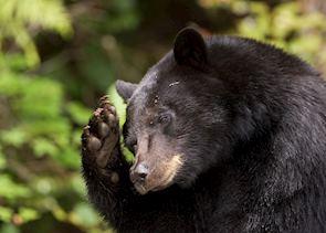Black bear near Tofino