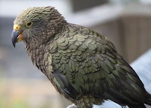 Kea, found in New Zealand's South Island