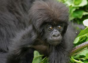 Mountain gorilla baby, Volcanoes National Park