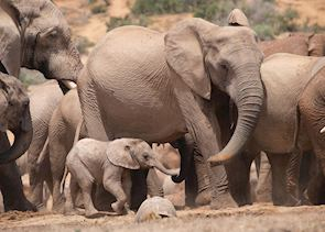 Elephant family in Addo Elephant Park