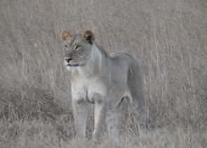 Lioness in Zambezi National Park