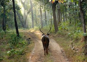 Sambar spotted on a morning safari at Satpura