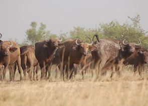 Buffalo herd, Ishasha