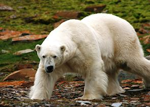 A large male Polar Bear, Svalbard