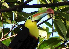 Keel-billed Toucan, El Petén