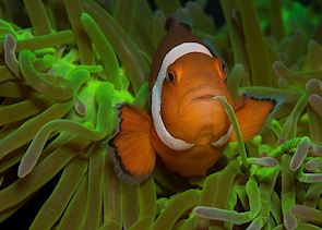 Clown fish off Negros Oriental, Philippines