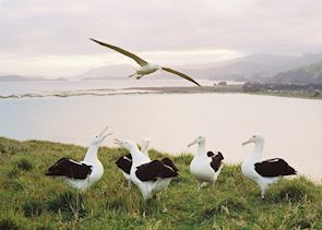 Royal albatross, Otago Peninsula