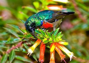 Rwenzori double-collared Sunbird, Nyunwge Forest