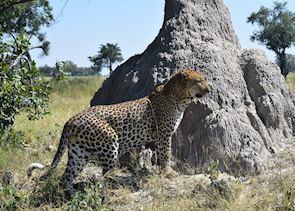 Male leopard in Botswana