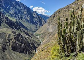Cactus in the Colca Canyon, Peru
