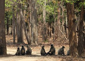 Langur monkeys, Pench National Park