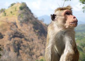 Monkey at Dambulla caves