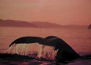 Grey whale diving, Baja California