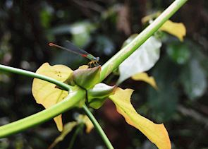 Dragonfly at Abai Jungle Lodge,  Kinabatangan River