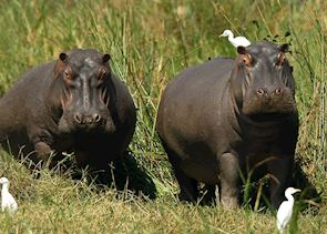 Hippo in Liwonde