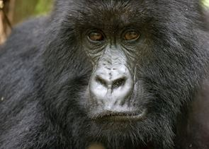Mountain gorilla, Volcanoes National Park