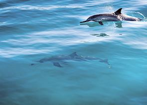 Dolphins in Maui