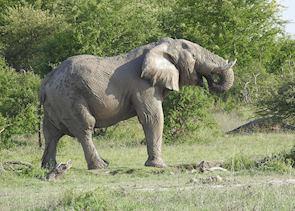 Elephant, Nxai Pan National Park