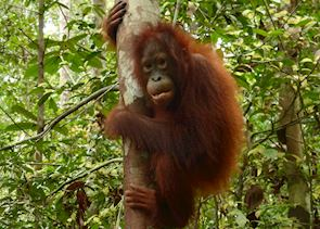 Orangutan, Tanjung Puting National Park, Kalimantan