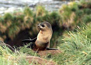 Fur seal pup, South Georgia