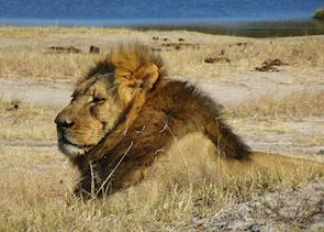 A male lion in Hwange National Park, Zimbabwe