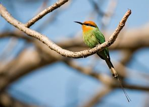 Bee-eater, Cape Maclear, Malawi