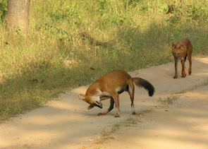 Wild Dogs. Bandhavgarh National Park