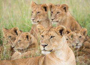 Lion pride, Hwange National Park, Zimbabwe