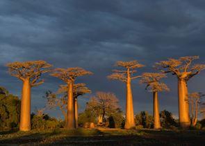 Avenue of the Baobabs, Morondava