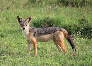 Jackal in Ol Pejeta Conservancy