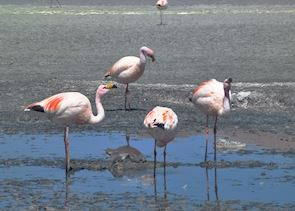 Flamingos in a lagoon, Bolivian Altiplano