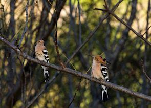 Hoopoe, Isalo National Park, Madagascar