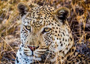 A male leopard relaxing before sunset in the Central Kalahari