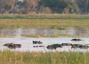 Hippo in the Kwara Concession, Botswana