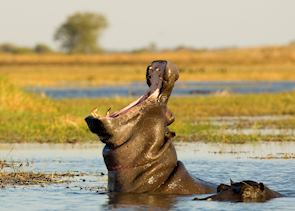 Hippos, Kafue National Park