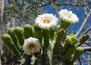 Flowering Saguaro cactus, Saguaro National Park, near Tucson, Arizona