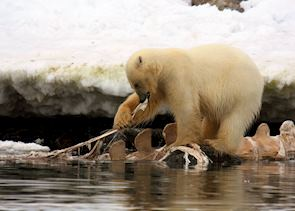 A bear feasts on a washed up whale carcass